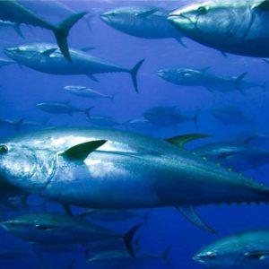 Revive La OMC Pleito Sobre El Atún