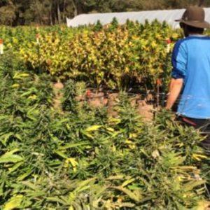 Científicos Libaneses Dan Dosis De Marihuana A Peces De Criadero