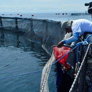 Ocean Farm Invirtió $ 6,5 Millones En Maricultura