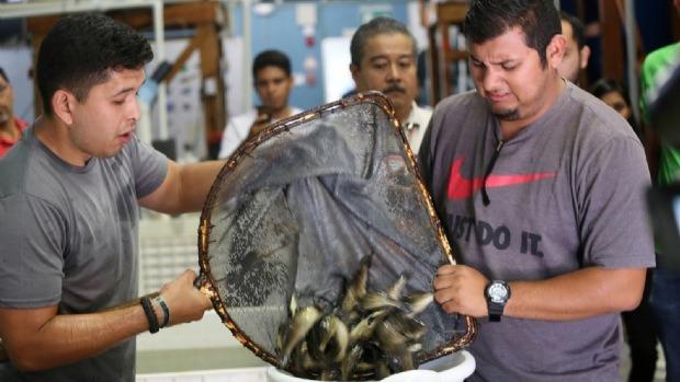 Liberan A 15 Mil Crías De Totoaba En México