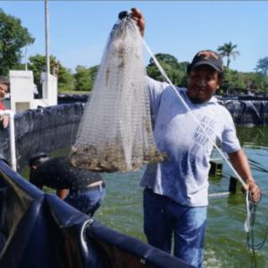 Cultivan Más De 1T De Camarón Con Agua Dulce En Campeche, México