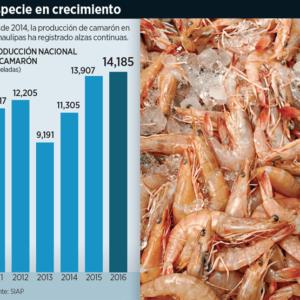 Lidera Camarón Producción Pesquera De Tamaulipas, México