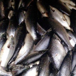 Controlan Mortandad De 20 Toneladas De Peces En Salmonera Austral En Chile