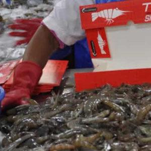 Mejoran Cifras De Exportación Acuícola Y Pesquera En Guatemala