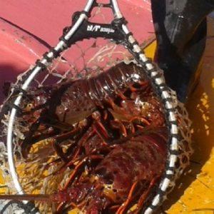 Baja California Rompe Récord En Pesca De Sardina Y Langosta