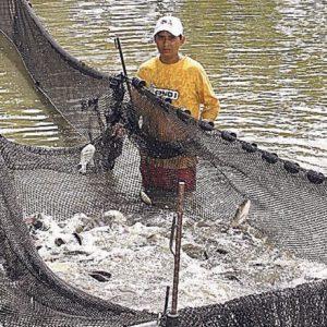 Ponen A Disposición Capacitación Para Acuicultura Con Tilapia En El Salvador