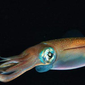 Establecen Cuota De Captura Del Recurso Calamar Gigante O Pota Para El Año 2018 En Perú