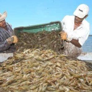 Camarón De Cultivo Genera USD16.1 Millones En Nicaragua