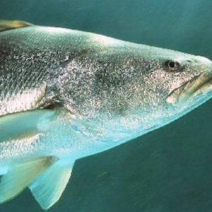 Desarrollan Pesca Sustentable De Totoaba Y Huachinango En Baja California, México