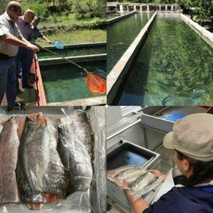 Incursionan En Producción De Trucha Arcoiris En México
