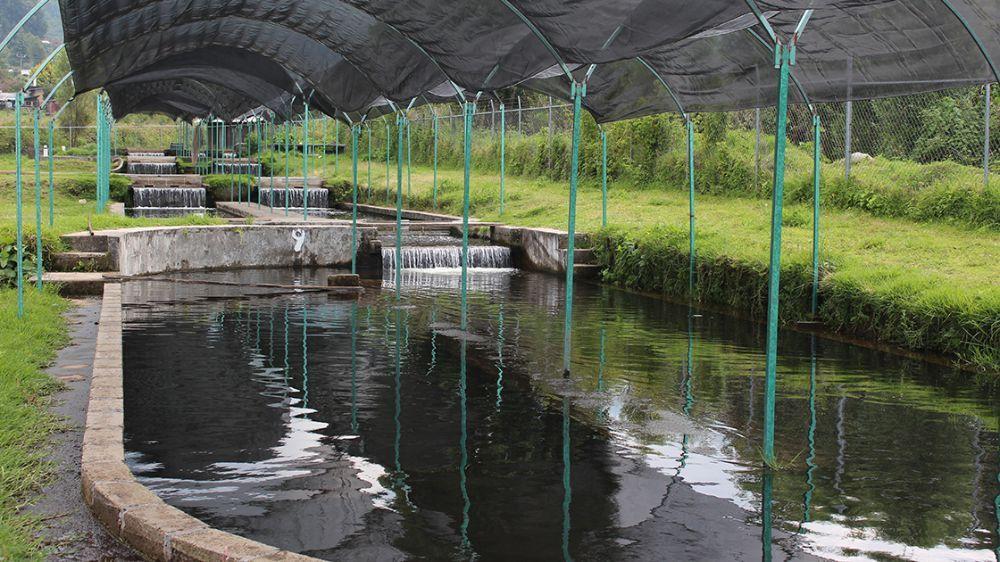 Crianza De Trucha Arcoíris, Una Forma De Pesca Sustentable