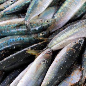 La Sardina: Una Pesquería En Movimiento