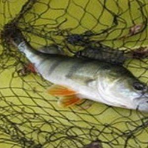 Científicos Argentinos Logran Carne De Pescado Enriquecida Con Vitaminas Y Antioxidantes