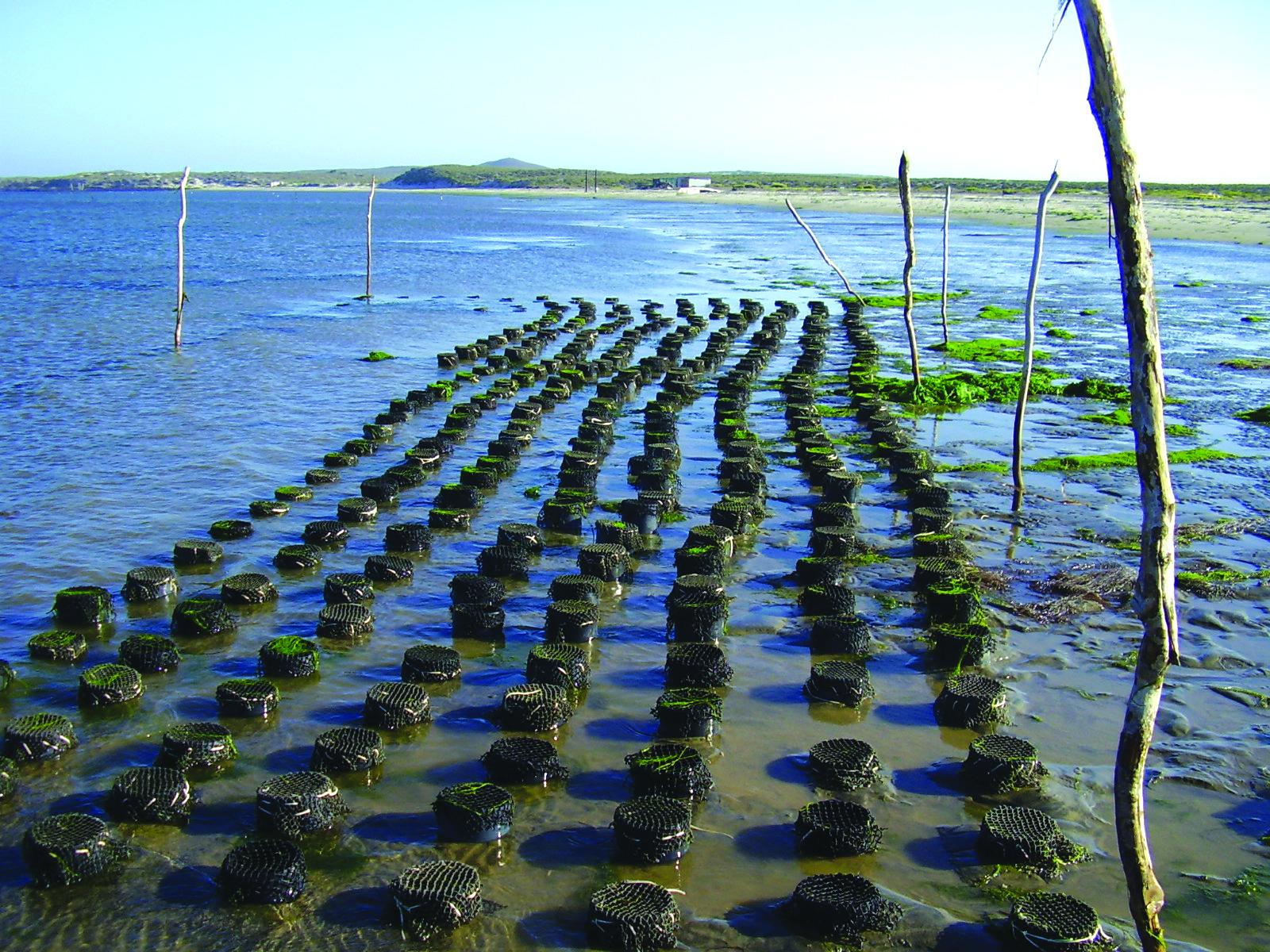 La Maricultura Ribereña Como Política Pública Pesquera Y Acuícola.(Conservación Y Desarrollo A Través De La Diversificación Productiva)