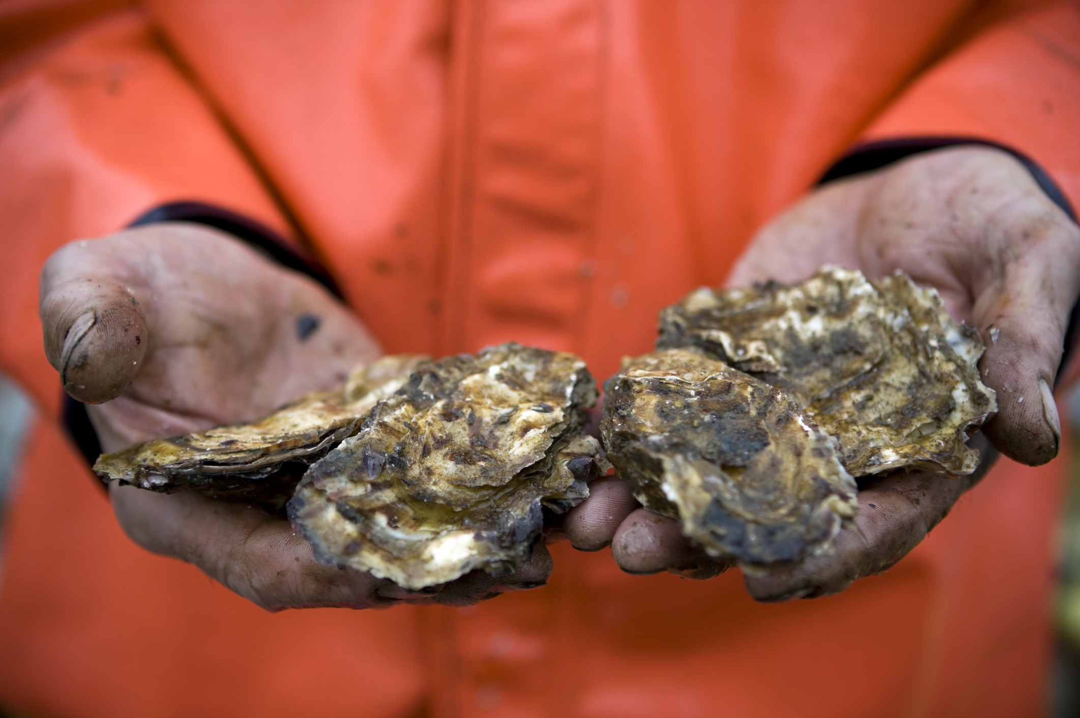 Fisherman Holding Fresh Farmed Pacific Oysters In Prince William Sound, Alaska. Oysters Can Grow Very Well In Cold Water If There Is Abundant, High-quality Plankton. Many Estuaries In Alaska Produce So Much High-quality Plankton During Certain Times Of The Year That Alaskan Shellfish Can Match Growth Achieved By Shellfish Raised In Warmer Waters Of The Pacific Northwest.