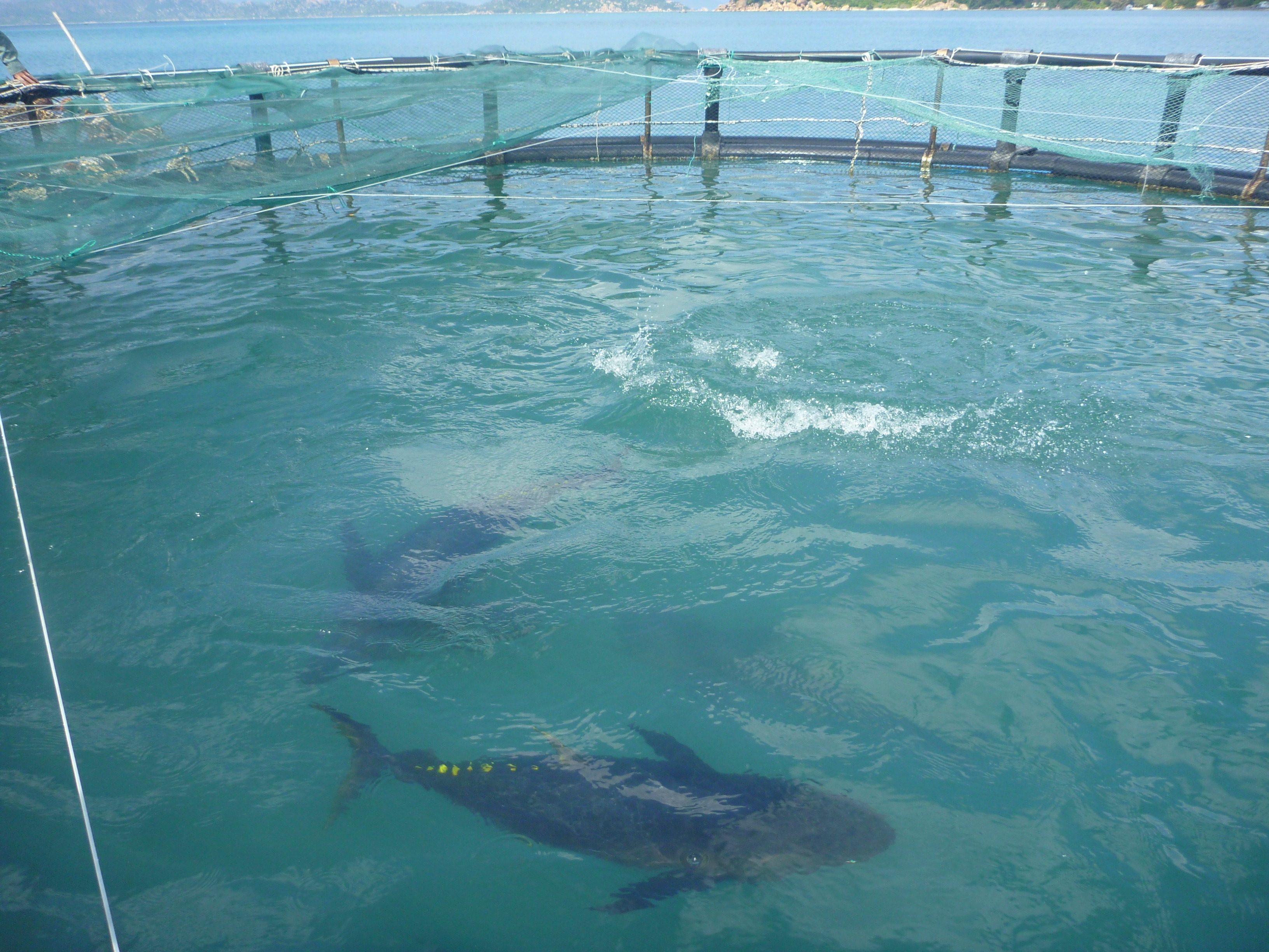 Cam Ranh, Vietnam - March 16, 2012: Cage Farming Of Yellowfin Tuna In The Bay Of Cam Ranh In Vietnam